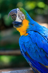 Blue & Yellow Macaw