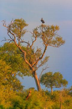 Maraboe in tree