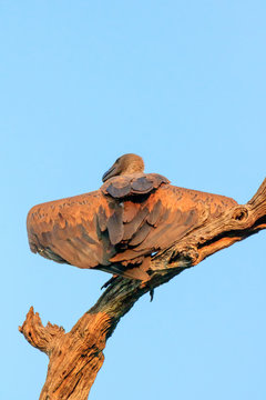 Juvenile Vulture in a tree