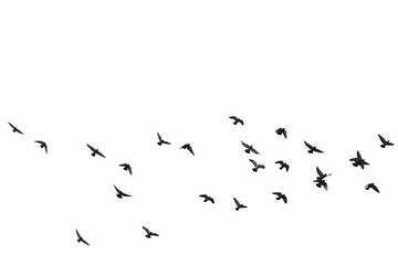 Photo sur Plexiglas Oiseau Flocks of flying pigeons isolated on white background. Save with clipping path.