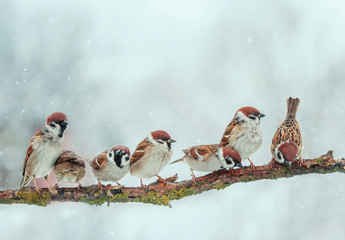 Wall Mural - many small funny birds sparrows are sitting on a tree branch in winter garden under falling snowflakes