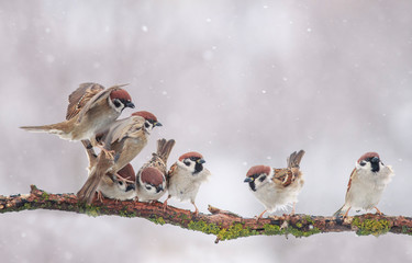 Wall Mural - flock of small funny birds sparrows sitting on a tree branch in the winter garden under falling snowflakes and waving their wings