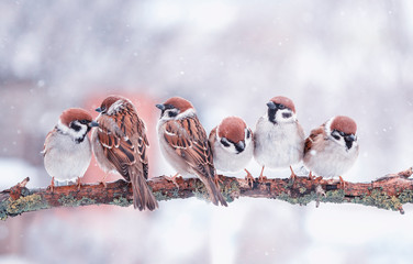 Wall Mural - many funny little birds sparrows are sitting on a tree branch in winter garden under falling snowflakes and cheerfully tweet