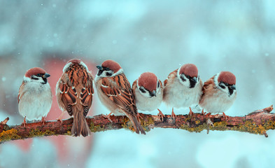 Wall Mural - many funny little birds sparrows are sitting nearby on a tree branch in the winter garden under falling snowflakes and tweet