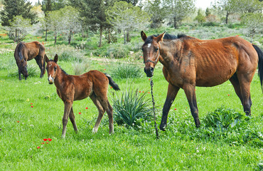 Horses with a foal grazing on the grass with blooming anemones, Israel in the spring