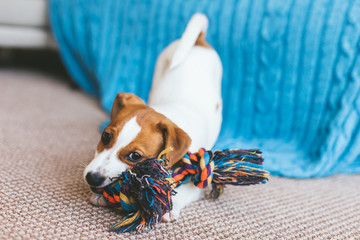 Adorable puppy Jack Russell Terrier on the capet playing with toy. Fotobehang