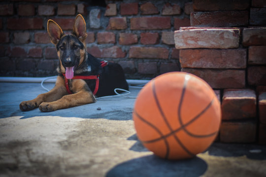 a German shepherd puppy behind red basketball and basketball on the floor