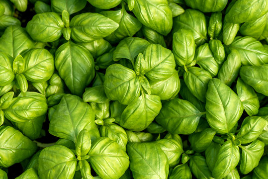 Basil leaves as natural food background. Fresh natural organic product
