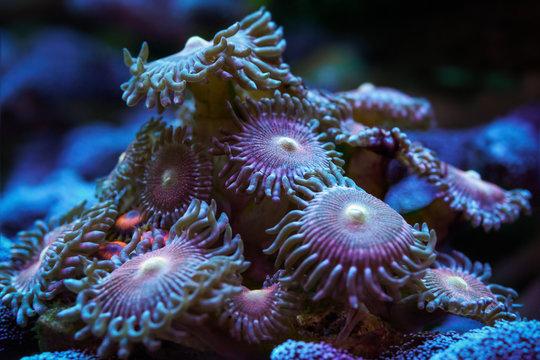 """Underwater world. Beautiful Zoanthid or button polyps Zoanthus """"Mohawk""""."""