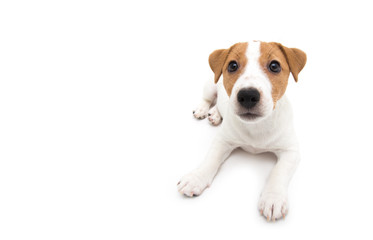 Jack Russell Terrier puppy isolated on white background Fotobehang