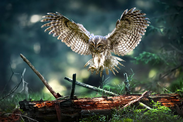 Foto op Aluminium Uil Tawny owl in flight (strix aluco), Action flying scene from the deep dark forest with common owls. Spread beautiful wings fly over old stump.