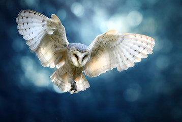 Hunting Barn Owl in flight.  Wildlife scene from wild forest. Flying bird tito alba Fotobehang
