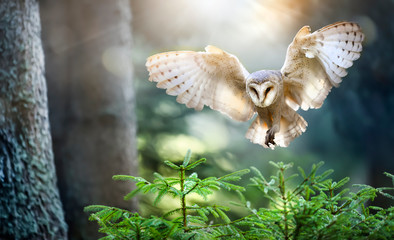 Hunting Barn Owl in flight. Wildlife scene from wild forest. Flying bird tito alba
