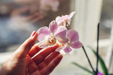 Foto op Canvas Orchidee Purple orchid phalaenopsis. Woman taking care of home plants . Close-up of female hands holding violet flowers