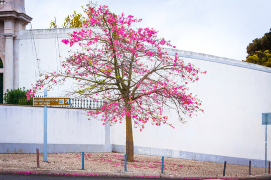 Silk floss tree on the street of Lisbon city, Portugal