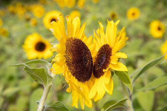 Sunflower field - pair of sunflowers facing each other