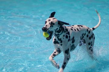perro jugando en la piscina con una pelota Fotobehang