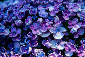 Foto op Canvas Hydrangea Beautiful hydrangea flower closeup. Floral and background.