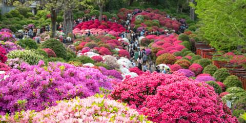 Aluminium Prints Azalea Azalea Festival at Nezu Shrine in Tokyo, Japan 色とりどりのツツジが咲く日本庭園