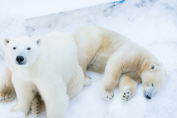 Poster Ijsbeer Funny polar bear. Polar bear sitting in a funny pose. white bear