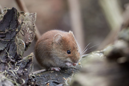 Common Vole (Myodes glareolus; formerly Clethrionomys glareolus). Small vole with reddish-brown fur eating seeds