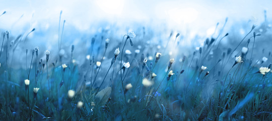 Mysterious soft blue misty morning in the meadow