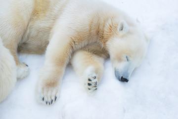 Poster Ijsbeer Funny polar bear. The polar bear is asleep. Sleeping white bear