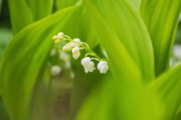 Photo sur Aluminium Muguet de mai Sprig of beautiful white lily flowers