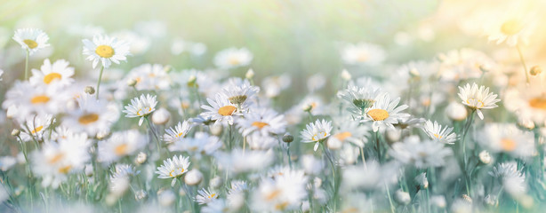 Photo sur Aluminium Marguerites Beautiful nature, selective and soft focus on daisy flower in meadow, daisy flowers lit by sunlight