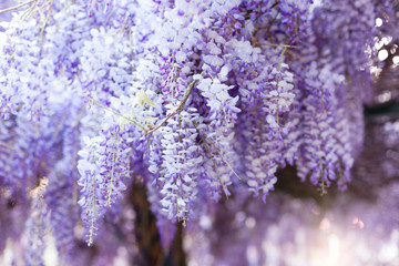 Fotomurales - Spring flowers wisteria. Flowering tree blossom in sunset garden. Beautiful flowers tunnel blooming in Japanese park.