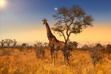 Poster Afrique Giraffe in Sunset in Kruger National Park, South Africa