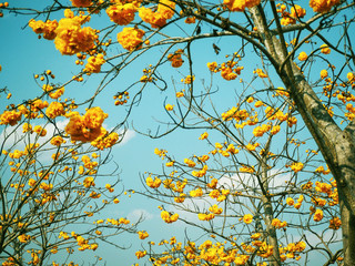 Wall Mural - Blooming yellow cochlospermum flowers over clear blue sky.