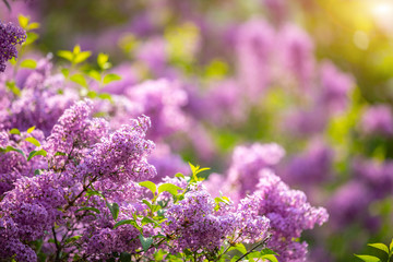 Poster Lilac Beautiful Syringa vulgaris or lilac blossom in spring time in Prague