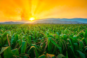 Photo sur Plexiglas Culture green corn field in agricultural garden and light shines sunset