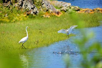 White Heron watching baby that it is teaching to fish.