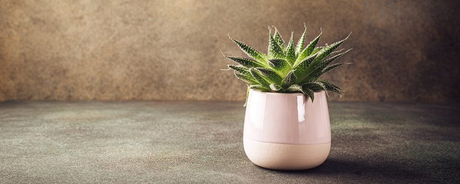Indoor houseplant succulent in pink ceramic pot on brown background with copy space. Banner.