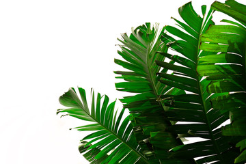 Group of big green banana leaves of exotic palm tree in sunshine on white background. Tropical plant foliage with visible texture. Pollution free symbol. Close up, copy space. Fotoväggar