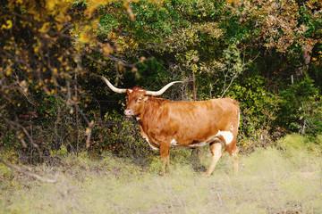 Wall Mural - Texas Longhorn cow in rural field during fall season outdoors on farm.