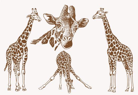 Graphical vintage set of giraffes , sepia illustration