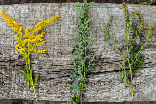 Comparison of Solidago, wormwood or Artemisia absinthium and Ambrosia during flowering in summer. Soft focus