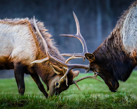 Elk lock horns in woods