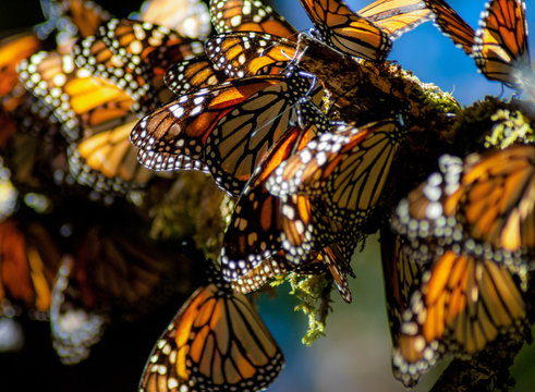 The Monarch Butterfly is a small and colorful flying insect that migrates from the United States and Canada to the forests of central Mexico between November and March