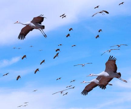 A Sandhill Crane Flock in the Pale Blue