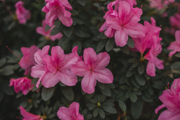 Blooming big bush of azaleas. Background with azalea flowers. Blooming spring background.