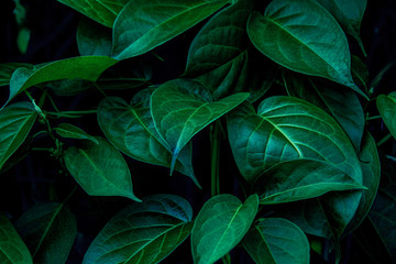 Deurstickers Planten closeup nature view of green leaf and water drop, dark wallpaper concept, nature background, tropical leaf
