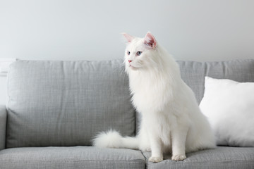 Cute white Maine Coon cat at home