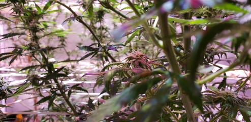 Cannabis Bud ding