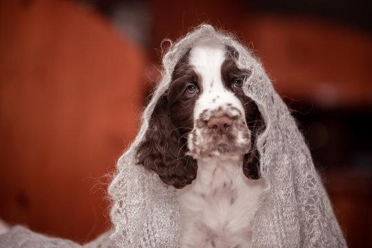 Springer Spaniel puppy. 3 months. Home comfort . dog