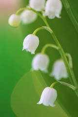 Wall Murals Lily of the valley Lily of the valley may flower on a blurry background with shining bokeh.Spring flowers. copy space. Spring floral gentle background.Flower card