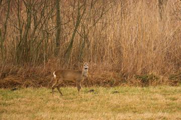 Tuinposter Ree Roe deer - capreolus capreolus on the field